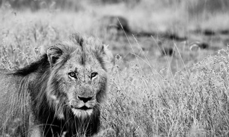 León masculino, blanco y negro foto de archivo
