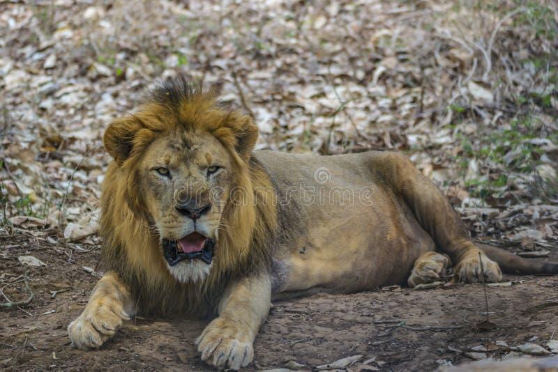 León masculino - descansando en medio de treeshade/de follaje fotos de archivo