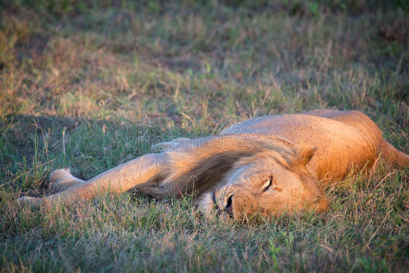 León masculino dormido foto de archivo