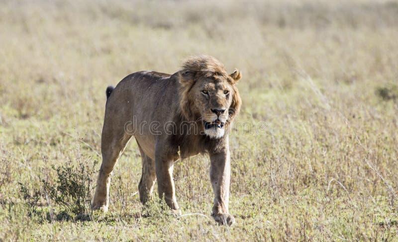 León masculino en el Maasai Mara, Kenia fotografía de archivo