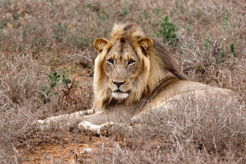 León masculino en el parque del safari de Addo, Suráfrica imagenes de archivo