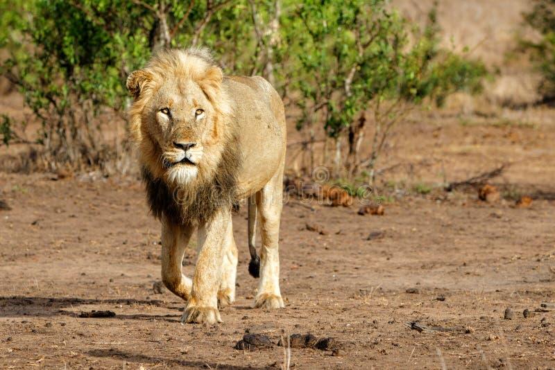 León masculino en Kruger NP - Suráfrica fotos de archivo libres de regalías