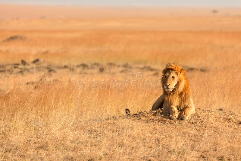 León masculino en Masai Mara fotografía de archivo libre de regalías