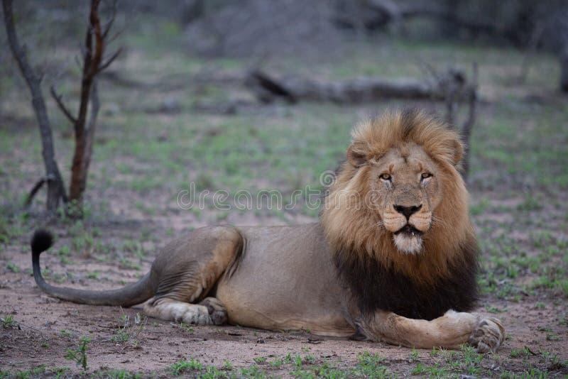 León masculino en su postura primera de la alarma mientras que hace el contacto visual directo imagen de archivo