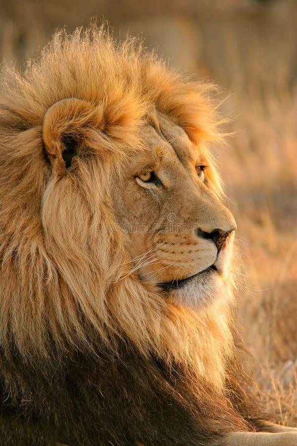 León masculino grande fotografía de archivo