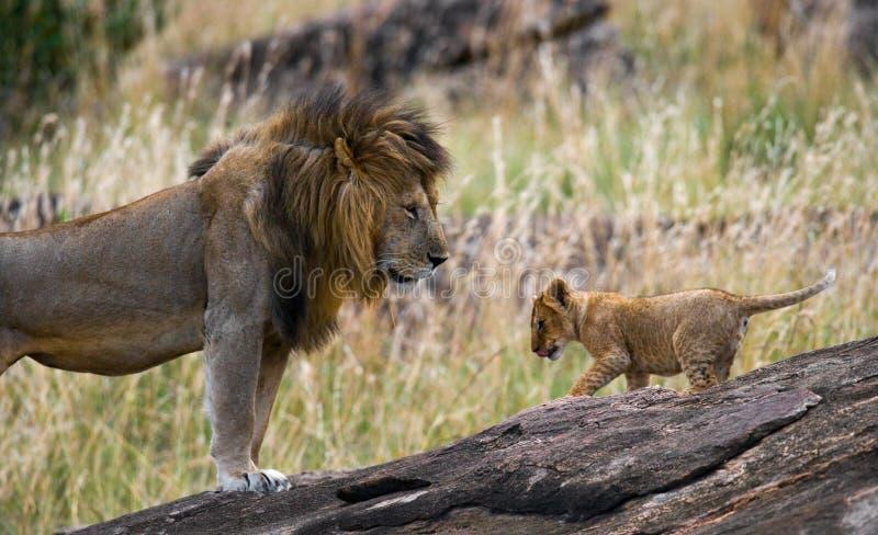 León masculino grande con el cachorro Parque nacional kenia tanzania Masai Mara serengeti foto de archivo