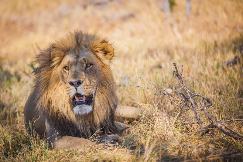 León masculino grande que miente en hierba en Botswana imagen de archivo libre de regalías