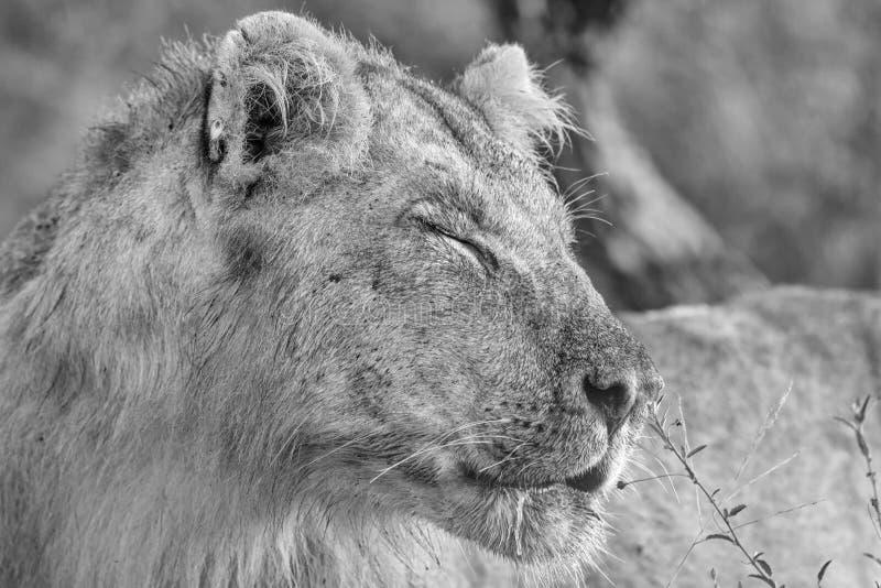 León masculino joven blanco y negro en el parque nacional de Kruger foto de archivo