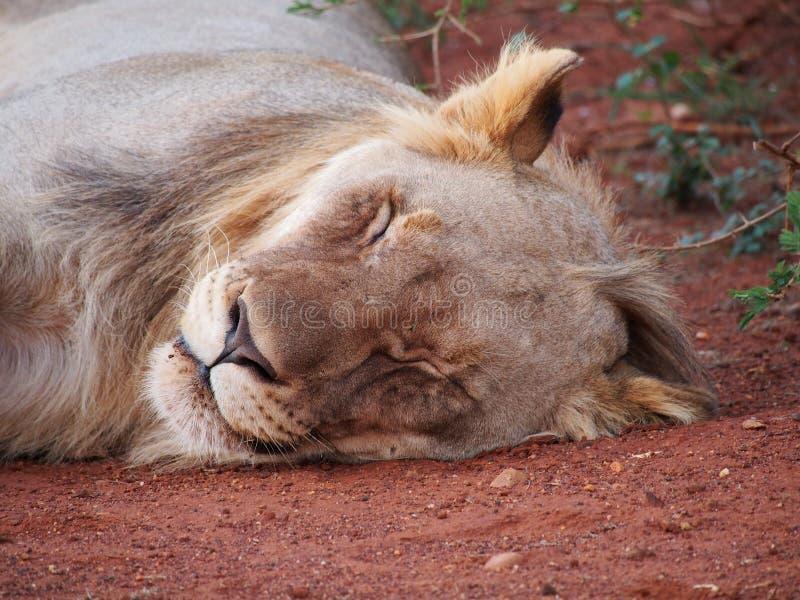 León masculino joven de reclinación fotografía de archivo libre de regalías