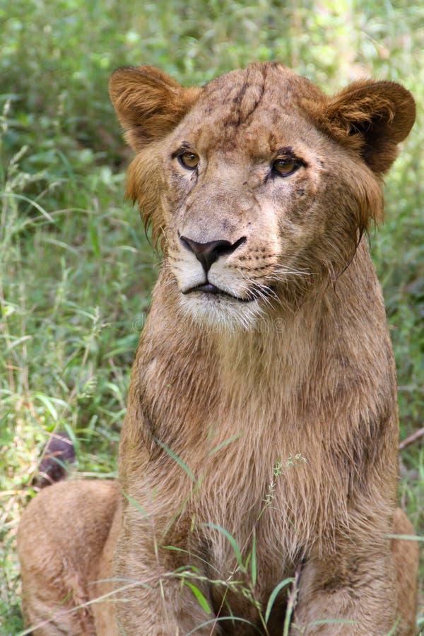 León masculino joven después de lluvias de la madrugada imagen de archivo libre de regalías