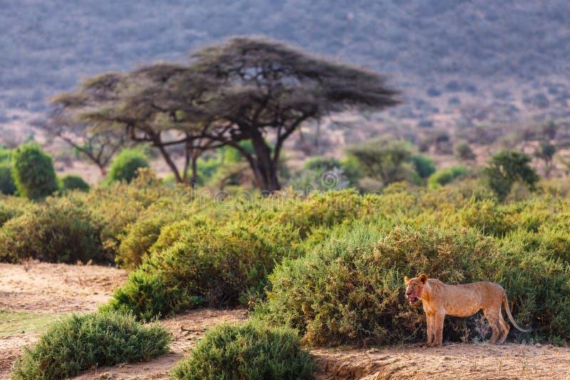 León masculino joven en África foto de archivo