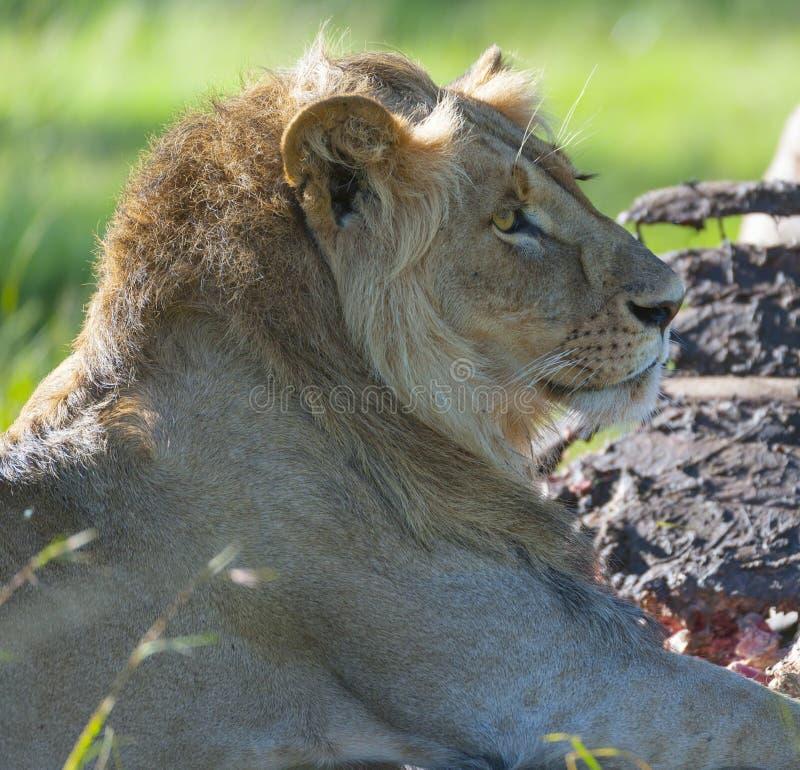 León masculino, mostrando la melena fotografía de archivo libre de regalías