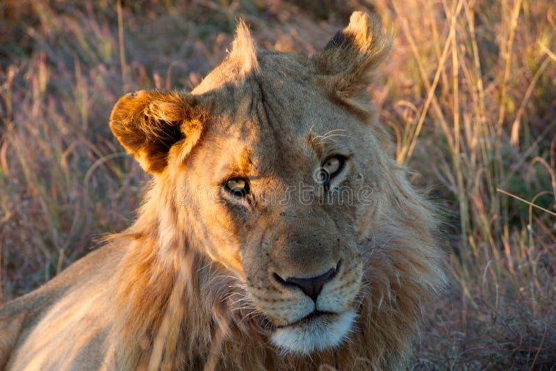 León masculino parcialmente crinado de los jóvenes imagen de archivo