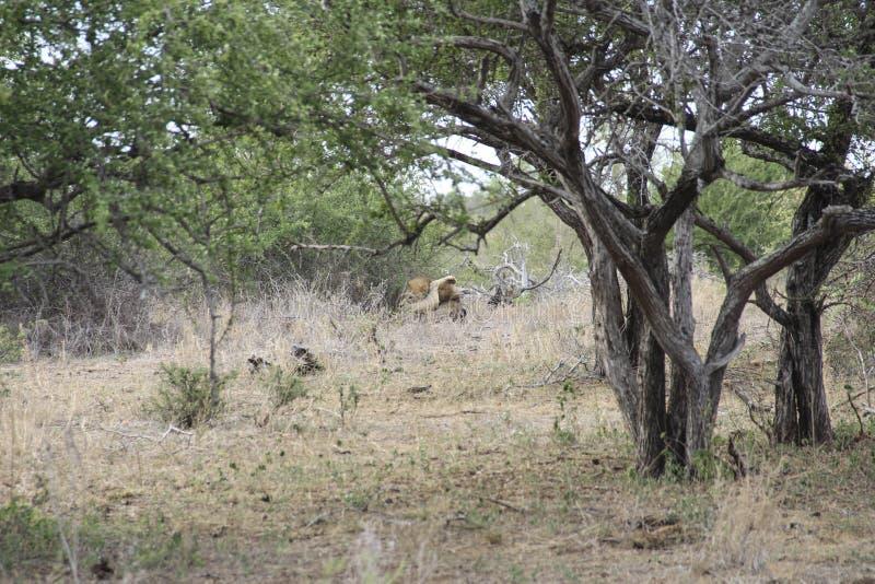 León masculino que oculta en el arbusto ocupado lamiéndose los testículos, Kruger NP Suráfrica imágenes de archivo libres de regalías