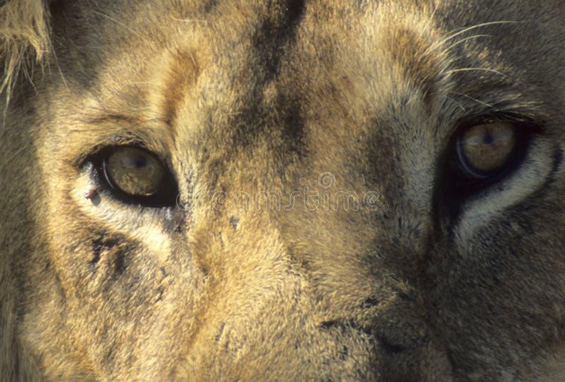 Download León Masculino Que Se Reclina, Pista Foto de archivo - Imagen de fauna, hombre: 7282606