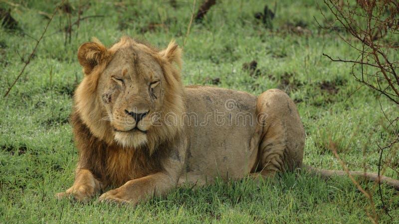 León masculino viejo con las cicatrices colocadas, ojos cerrados imagen de archivo libre de regalías