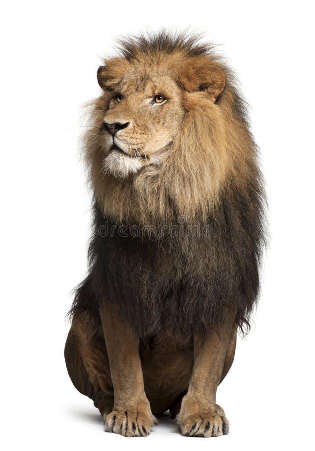 León, Panthera leo, 8 años, sentándose fotos de archivo libres de regalías