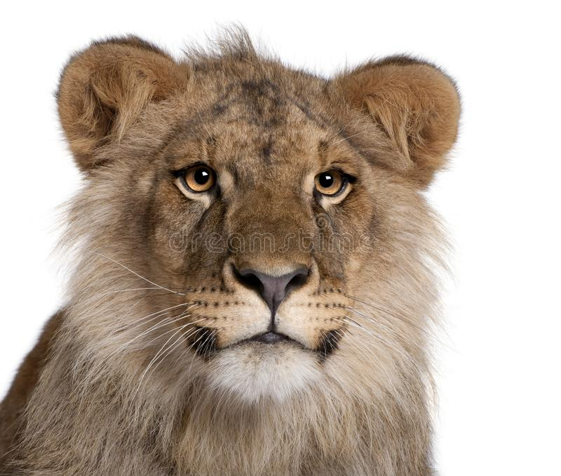 León, Panthera leo, 9 meses fotografía de archivo libre de regalías