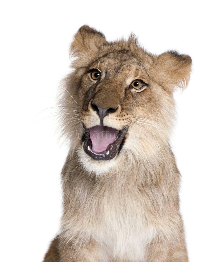 León, Panthera leo, 9 meses, delante de un fondo blanco fotos de archivo libres de regalías