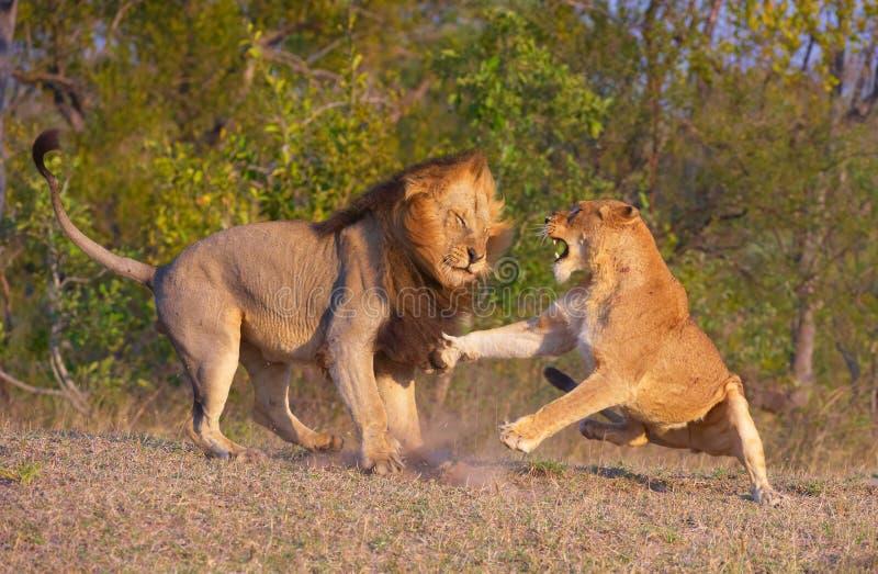 León (panthera leo) y lucha de la leona imagenes de archivo