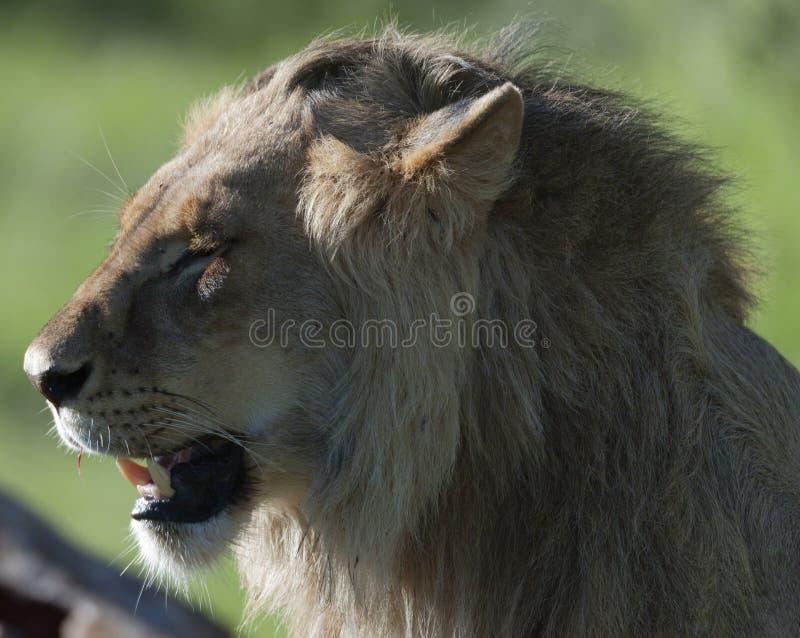 León, pareciendo ido y disfrutando de la sol de la mañana imagen de archivo libre de regalías