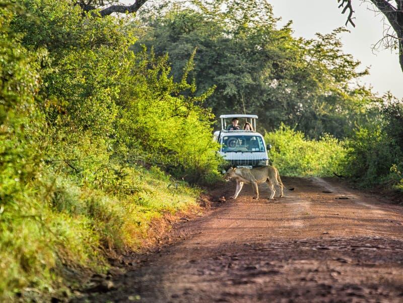 León que cruza un camino delante del turista en coche del safari imagen de archivo