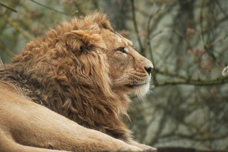 león que mira detrás de él foto de archivo