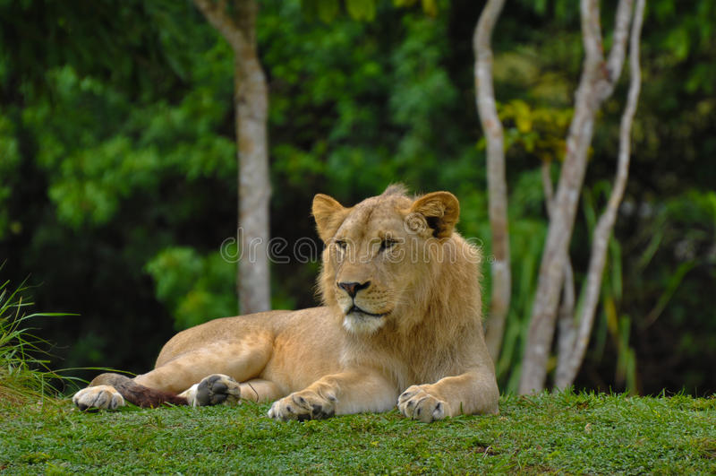 León que se acuesta con la selva en fondo imagen de archivo