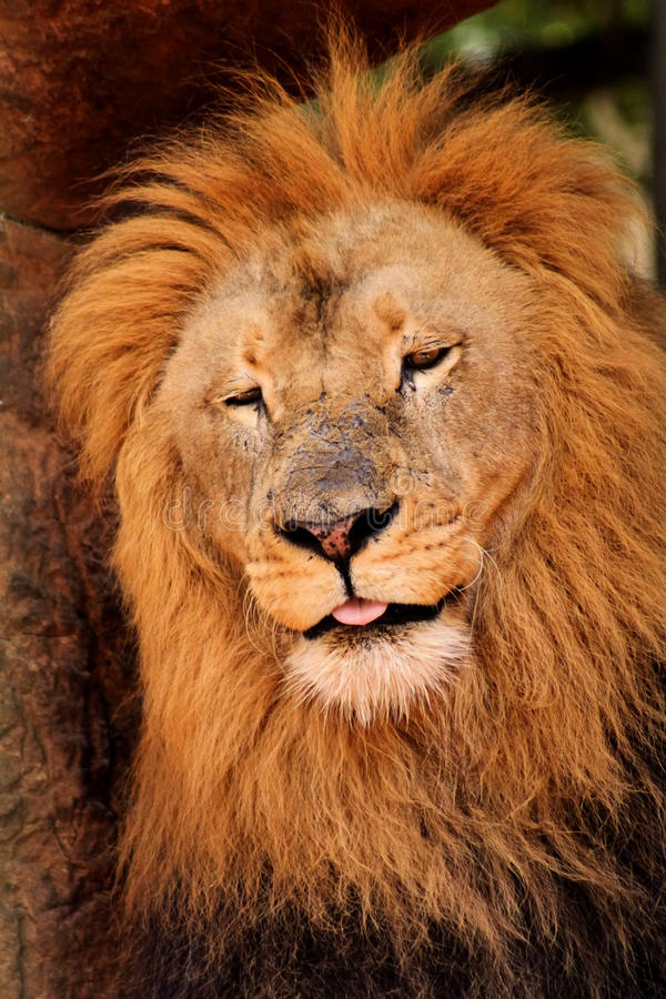 León soñoliento que dormita apagado imagenes de archivo