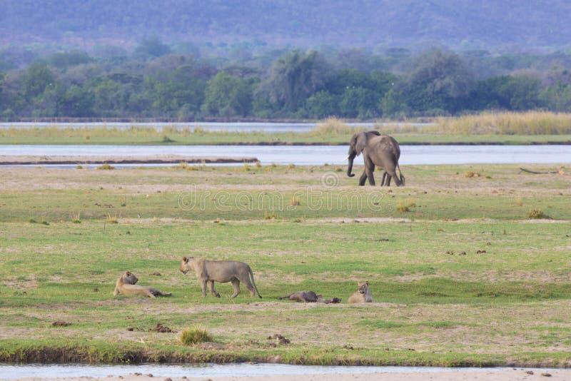 León y elefante por el río Zambezi fotografía de archivo libre de regalías