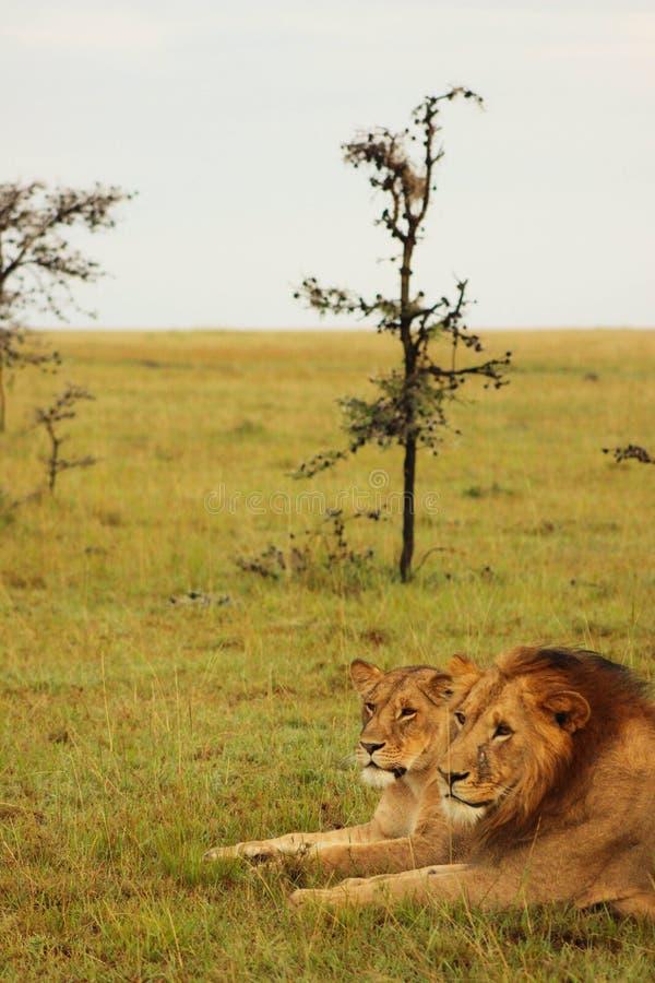 León y leona que descansan en la salida del sol fotografía de archivo