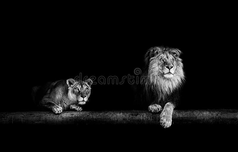 León y leona, retrato del leones hermosos, leones en DA imagen de archivo