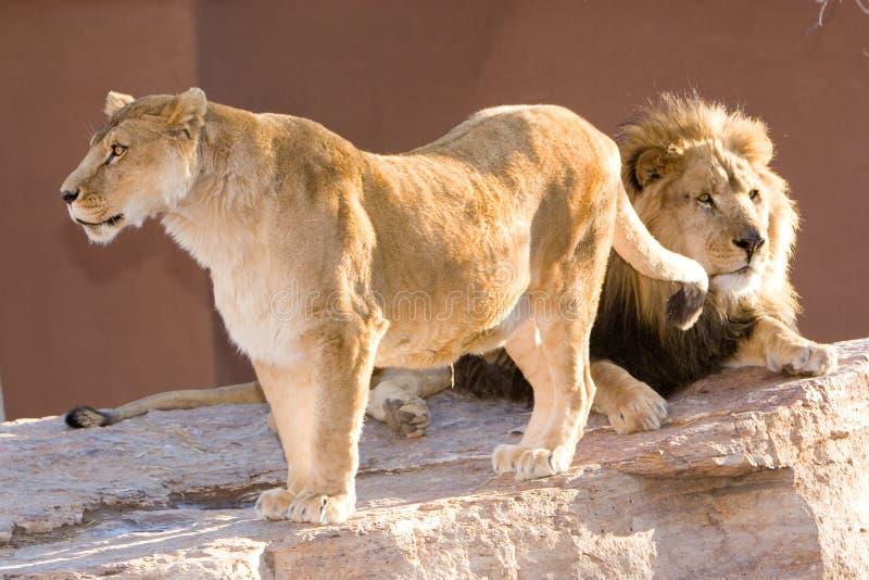 Download Leões imagem de stock. Imagem de ambiente, áfrica, face - 534343