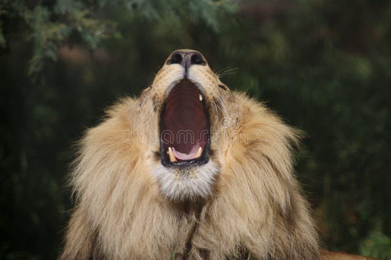 Leões africanos imagem de stock royalty free
