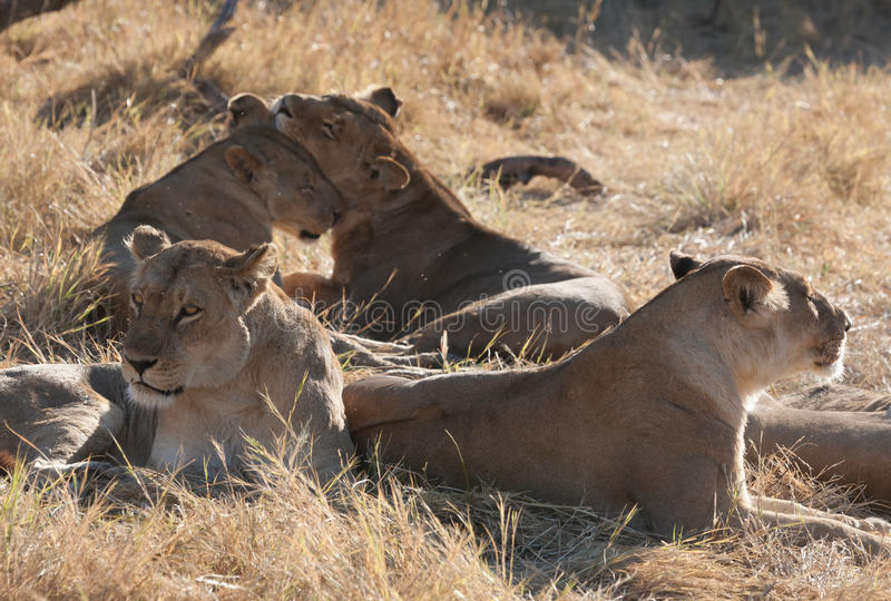 Leões, Botswana foto de stock royalty free