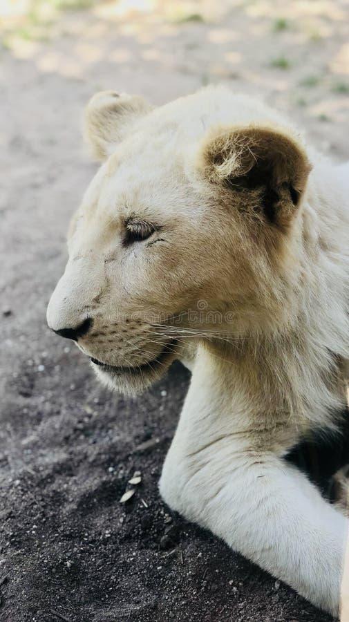 Leões brancos imagem de stock