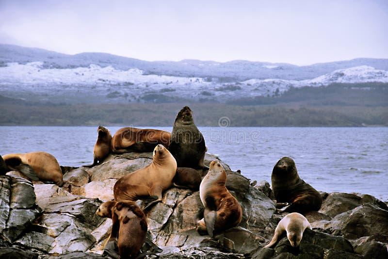Leões de mar imagens de stock