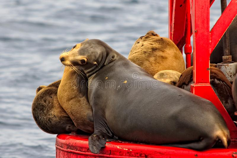 Leões de mar de Califórnia que expõem-se ao sol em uma boia fotos de stock royalty free