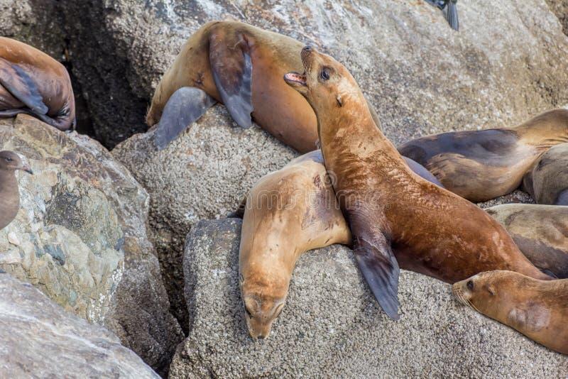 Leões de mar da baía de Monterey fotografia de stock