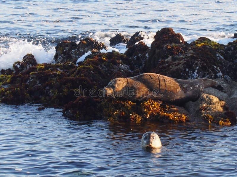 Leões de mar da baía de Monterey fotografia de stock royalty free