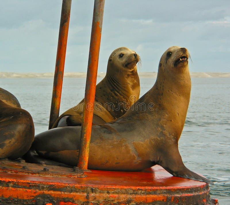 Leões de mar de Califórnia imagens de stock royalty free