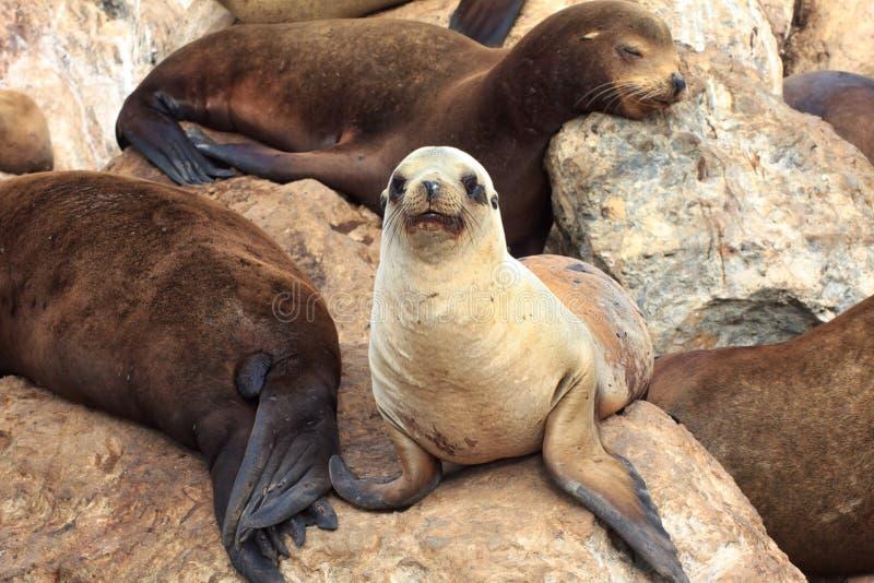 Leões de mar de Califórnia na baía de Monterey fotografia de stock
