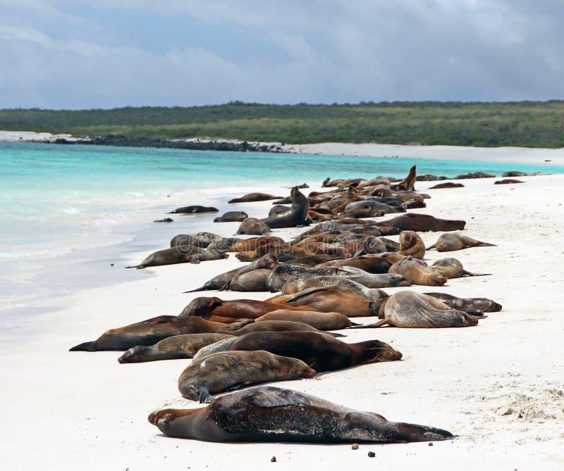 Leões de mar de Galápagos fotografia de stock
