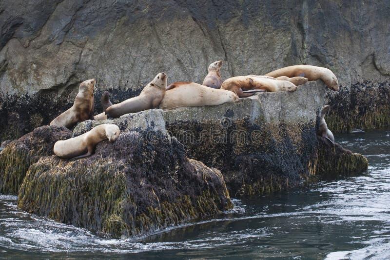 Leões de mar do Alasca em rochas   imagens de stock royalty free