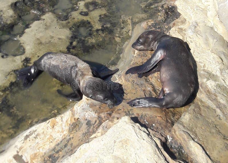 Leões de mar do bebê que dormem em rochas no sol na angra Califórnia de La Jolla fotos de stock