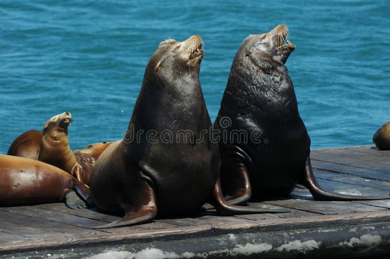 Leões de mar do canto imagens de stock royalty free