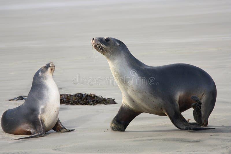 Leões de mar dois foto de stock