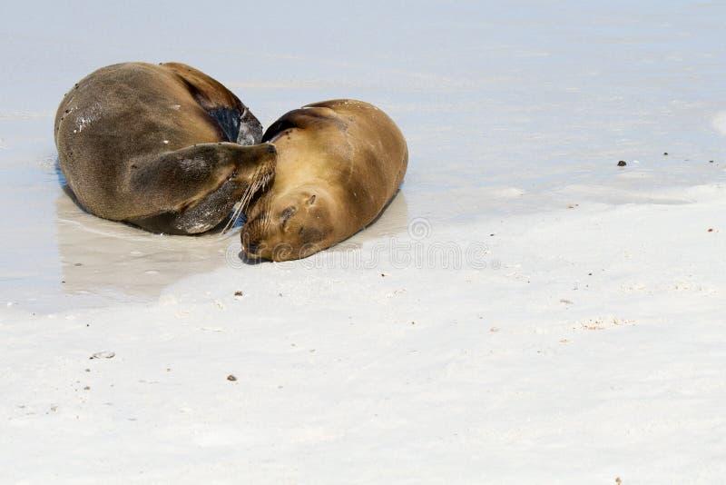 Leões de mar dos consoles de Galápagos foto de stock