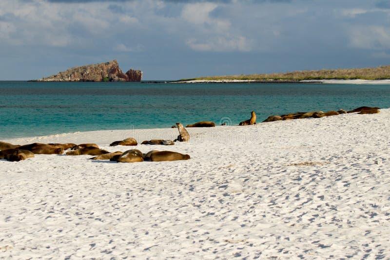 Leões de mar dos consoles de Galápagos fotos de stock