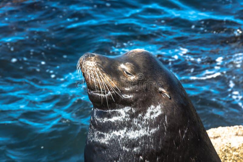 Leões de mar em Monterey, Califórnia imagem de stock royalty free
